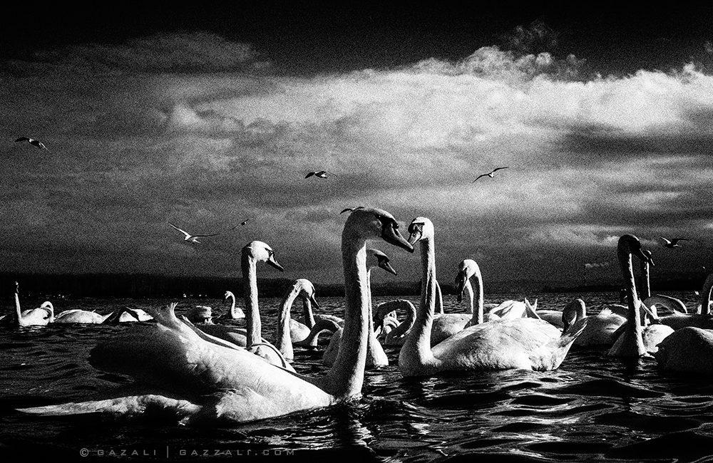 Swans at the Danube