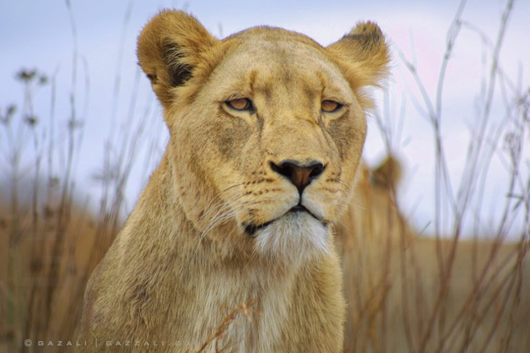 Portrait from the wilderness, a young lioness